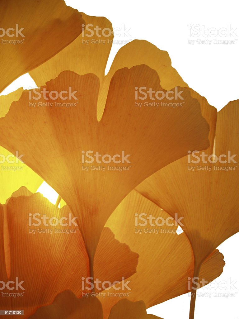 The raw form of ginkgo biloba in the sunlight royalty-free stock photo