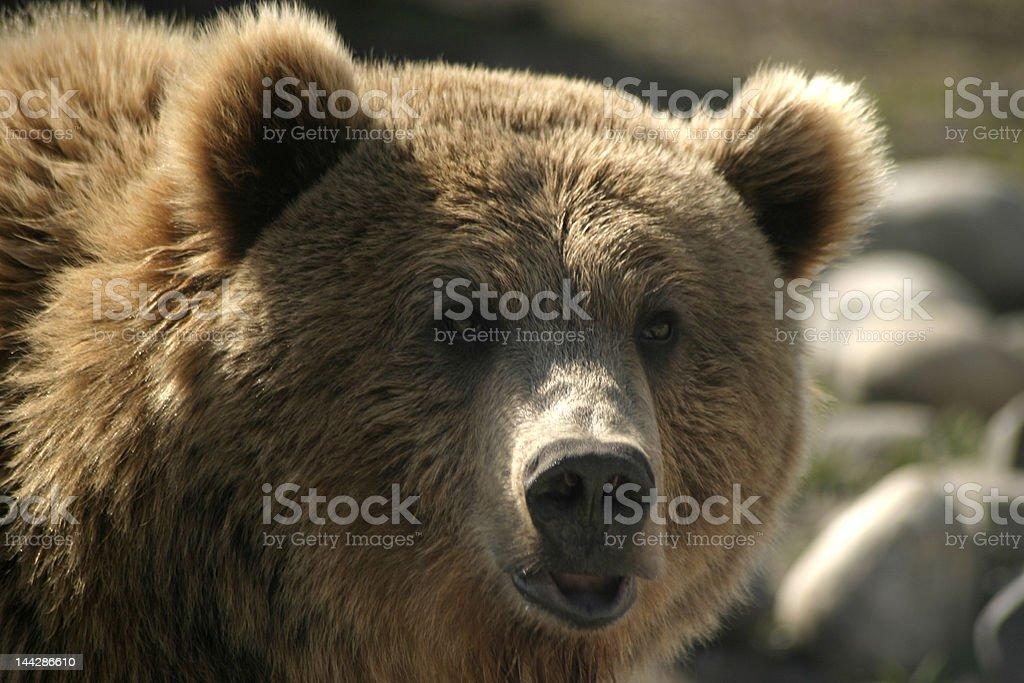 The Real Teddy Bear royalty-free stock photo
