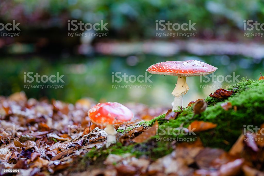 The red and white poisonous toadstool or mushroom called Amanita stock photo