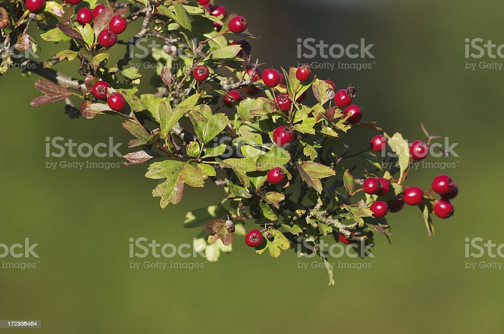 Hawthorn haws in sunlight red berries royalty-free stock photo