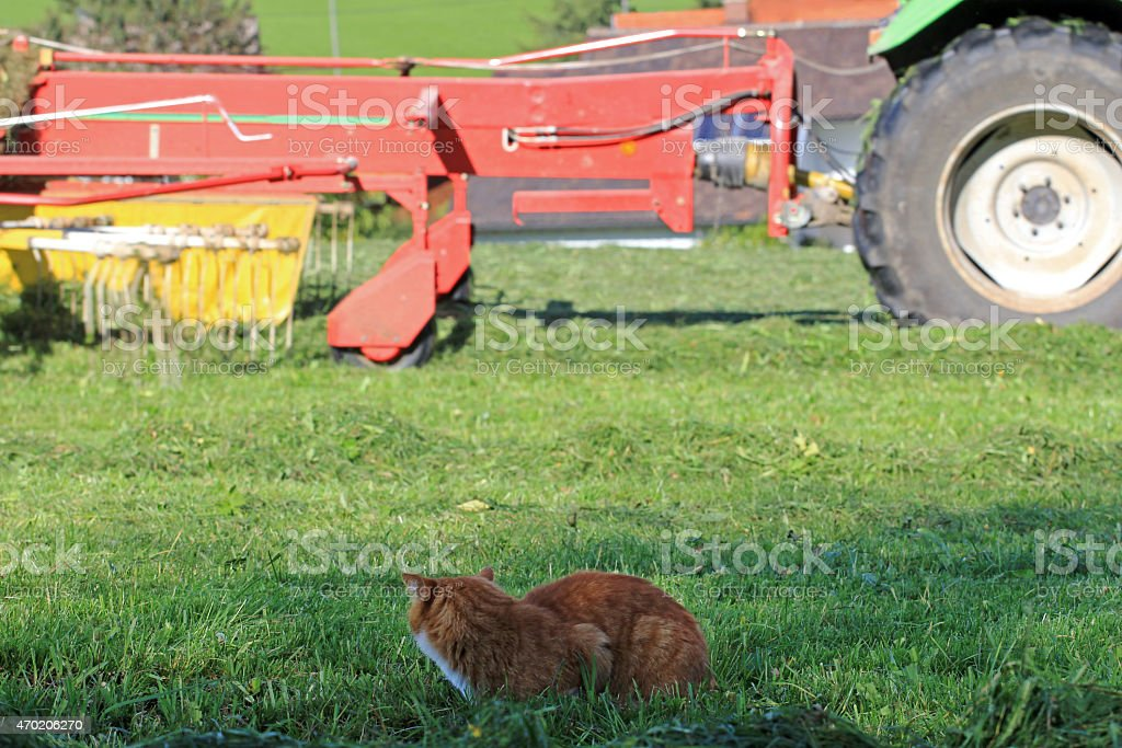 The red cat on mouse hunt in the field stock photo