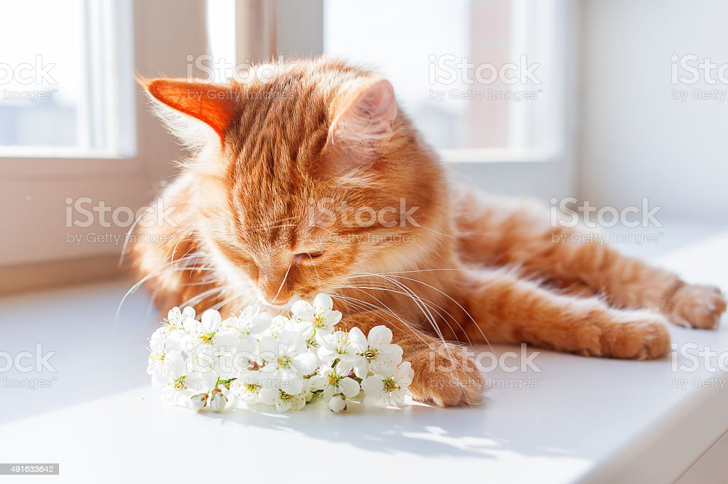 The red cat smells a bouquet of cherry flowers. stock photo