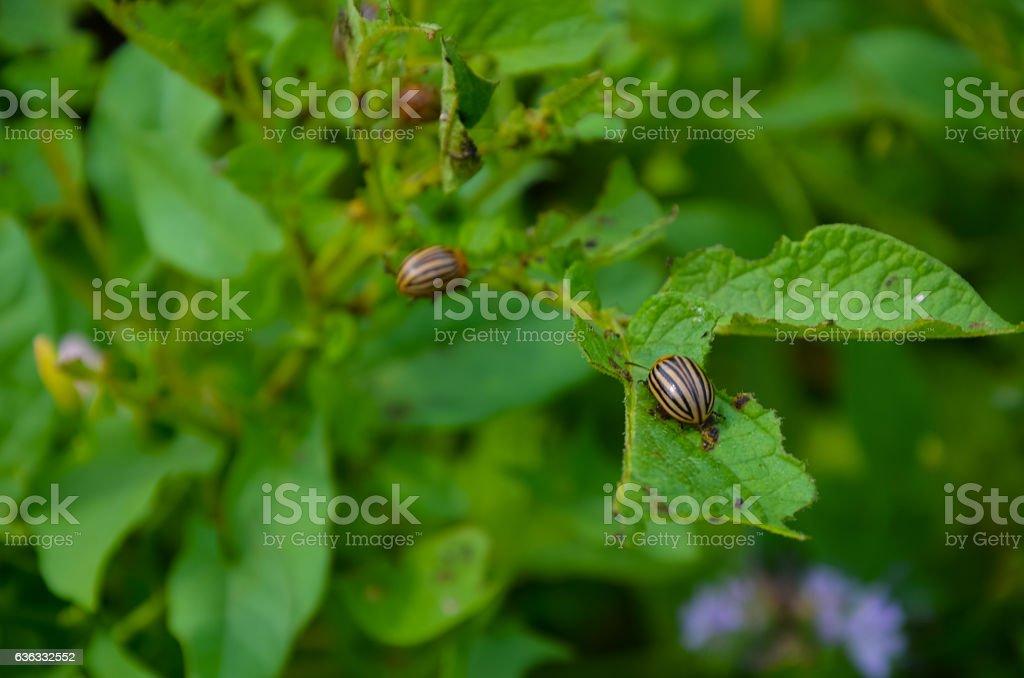 The red colorado beetle's larva feeding stock photo