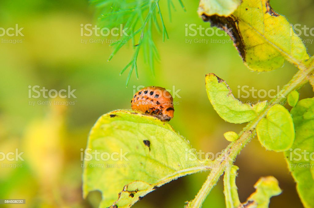 The red colorado beetle's larva feeding potato leaf stock photo