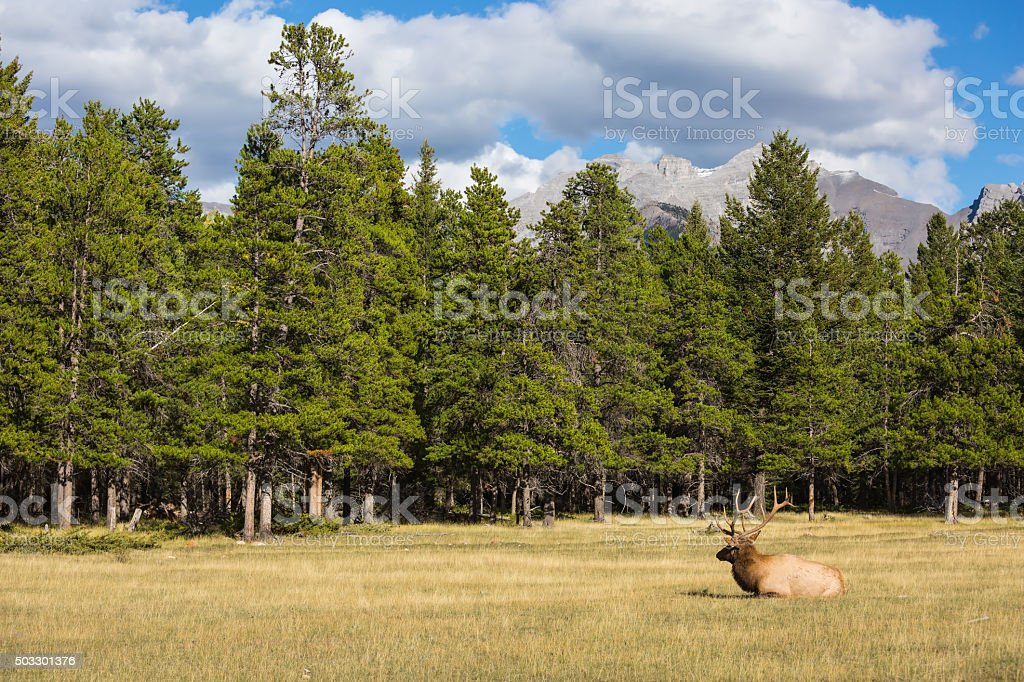 The red deer with branchy horns lies in a grass stock photo