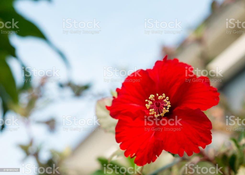 Die Roter Hibiskus Blume (Schwerpunkt auf pollen Lizenzfreies stock-foto