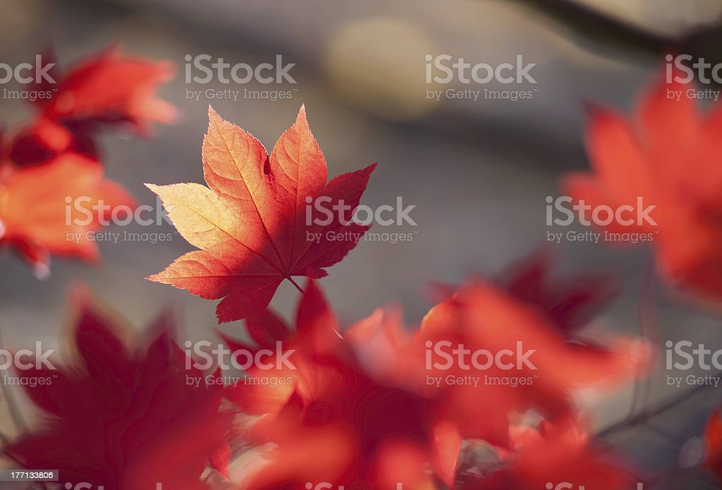 The Red Leaf stock photo