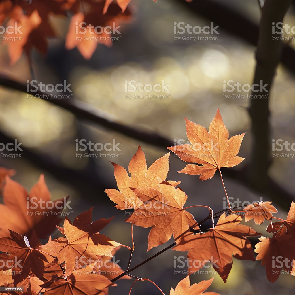 The Red Leaves stock photo