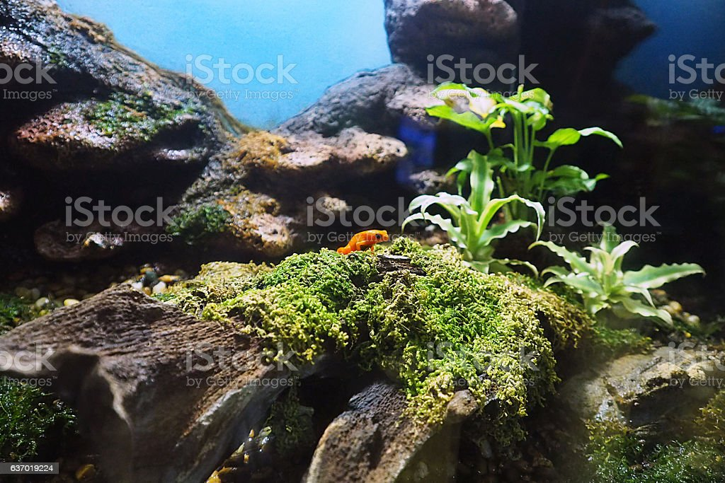 The Red Mantella frog in forest environment tank stock photo