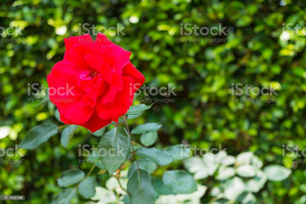 Rote stieg der im Garten Lizenzfreies stock-foto