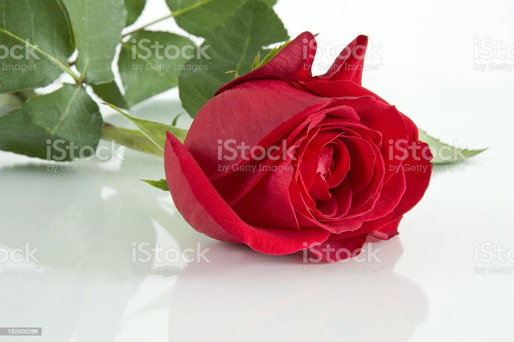 The Red rose. royalty-free stock photo