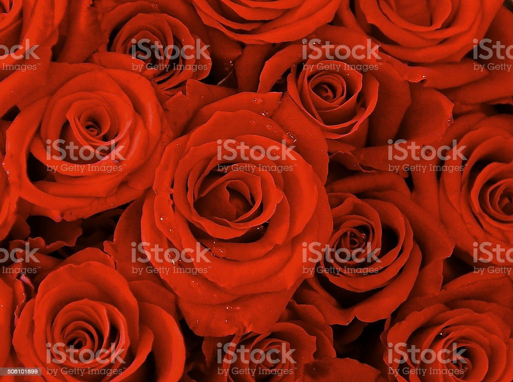 The red rose stock photo
