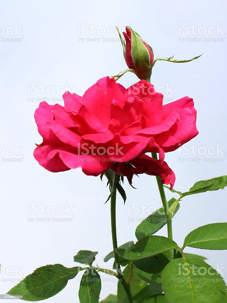 The red roses flower of love royalty-free stock photo