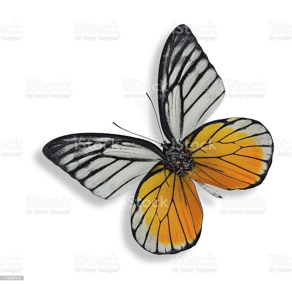 The Red Spot Sawtooth butterfly isolated on white background stock photo
