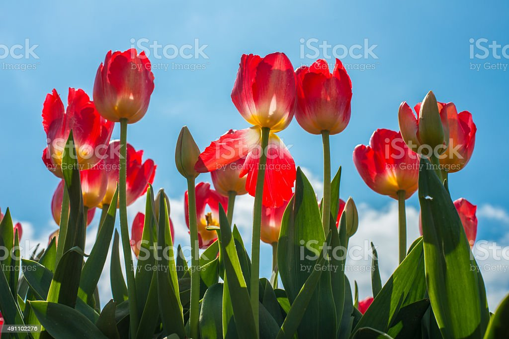 The red tulip flowers in the sunny day stock photo