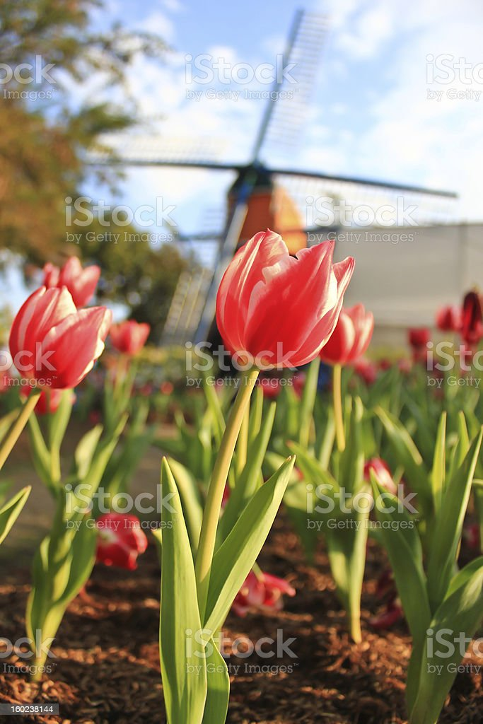 The  red tulips in front of turbine royalty-free stock photo