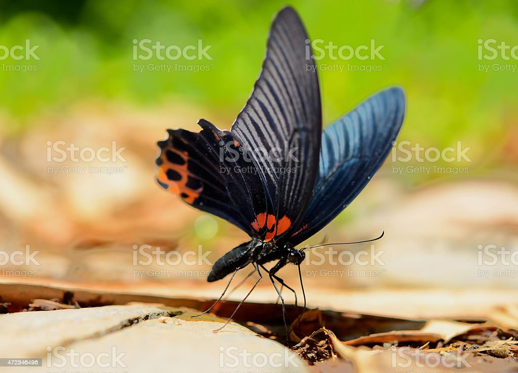 The Redbreast butterfly stock photo