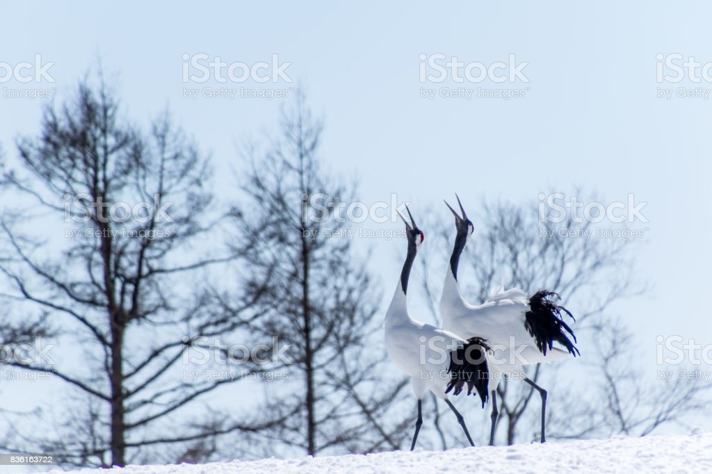 The red-crowned crane stock photo