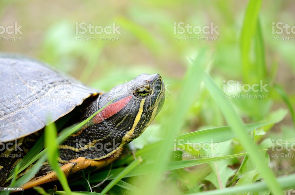 The red-eared slider turtle on green grass stock photo