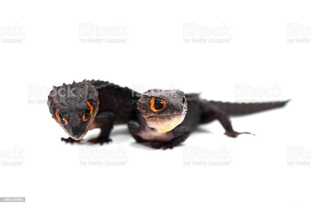 The Red-Eyed Crocodile Skink isolated on white background stock photo