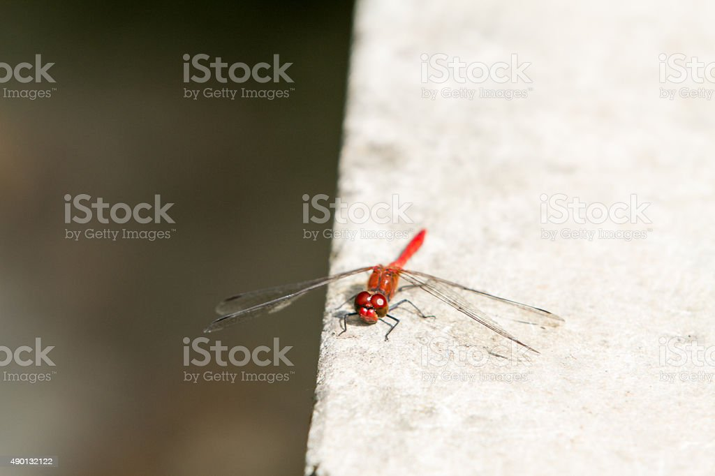 The red-veined darter or nomad dragonfly royalty-free stock photo
