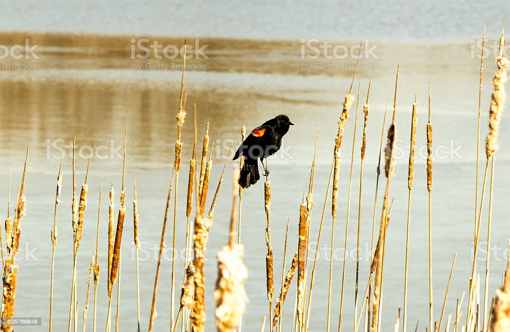 The Red-winged Blackbird. royalty-free stock photo