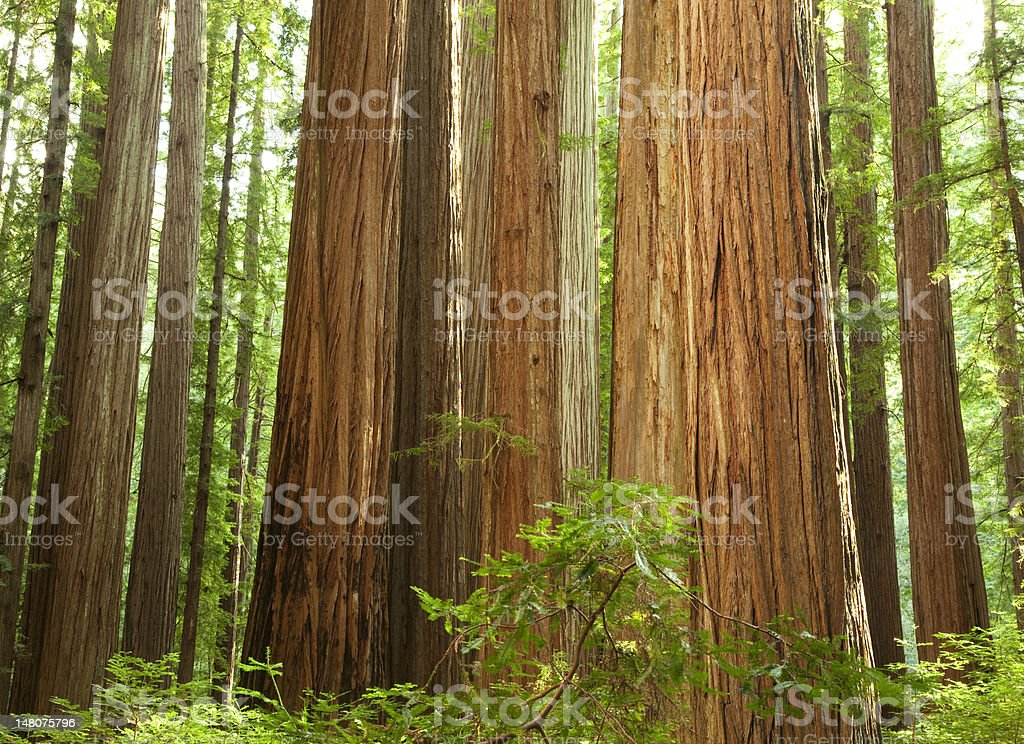 The Redwood National Forest stock photo