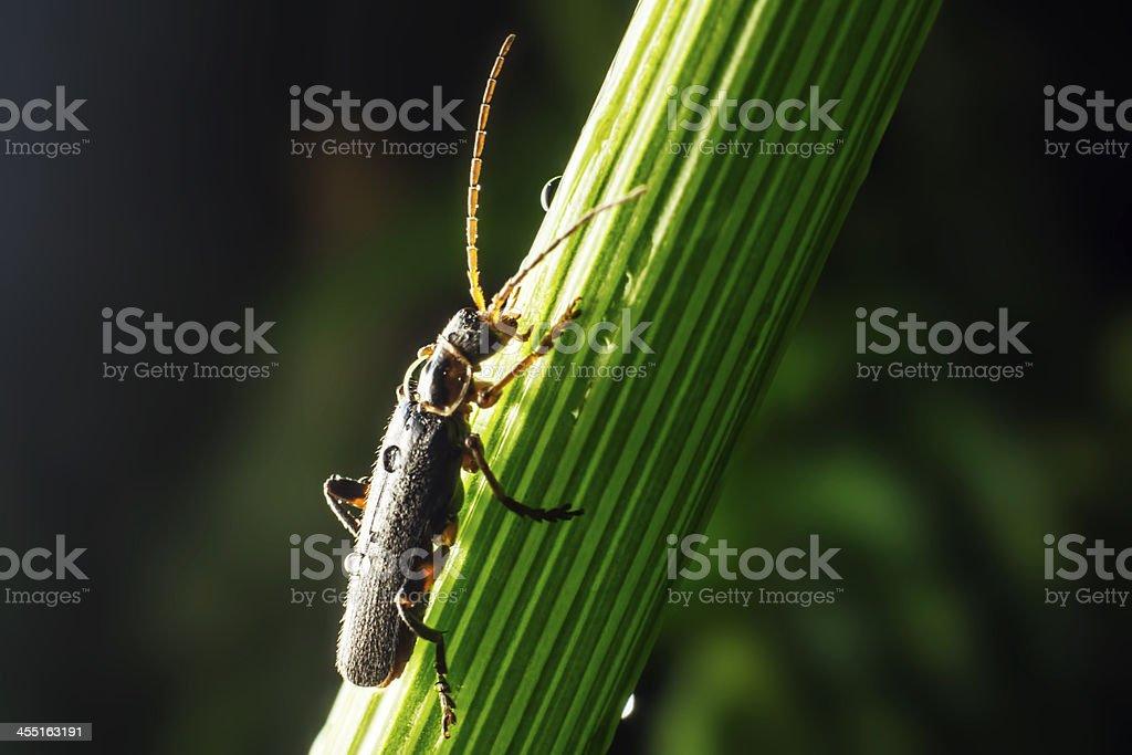 The reed beetle, Donacia aquatica royalty-free stock photo