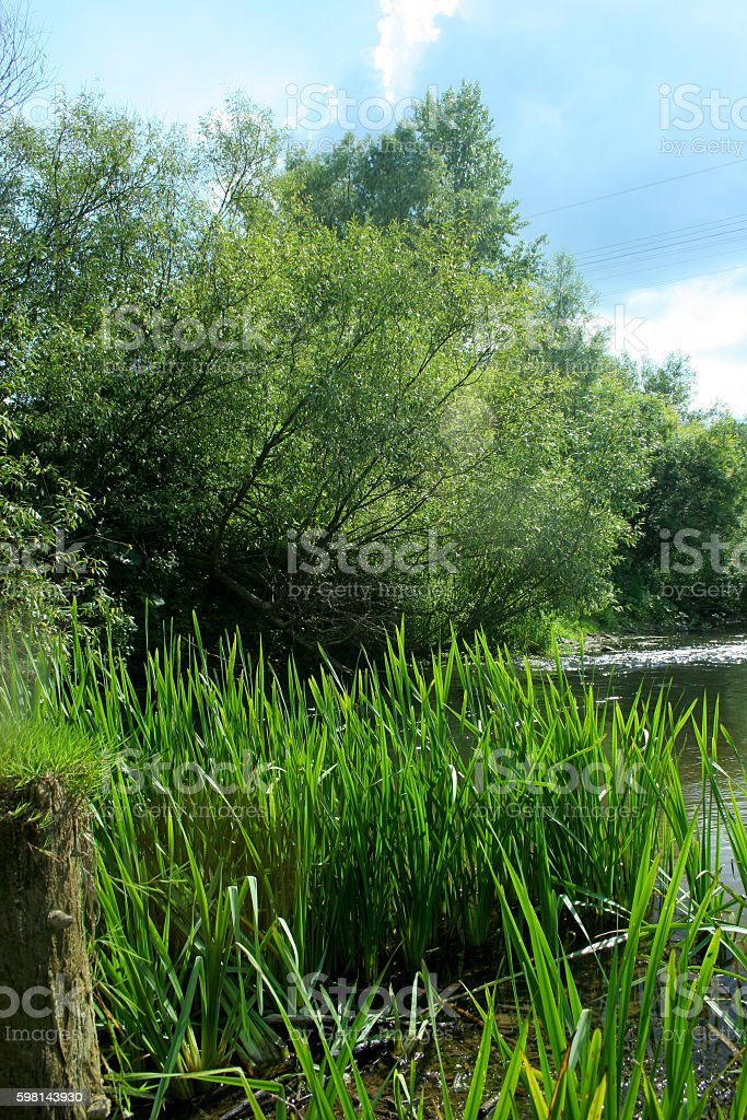 The reeds and willow on the forest river background stock photo
