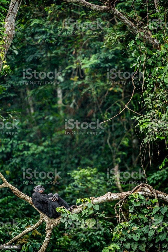 The resting Bonobo stock photo