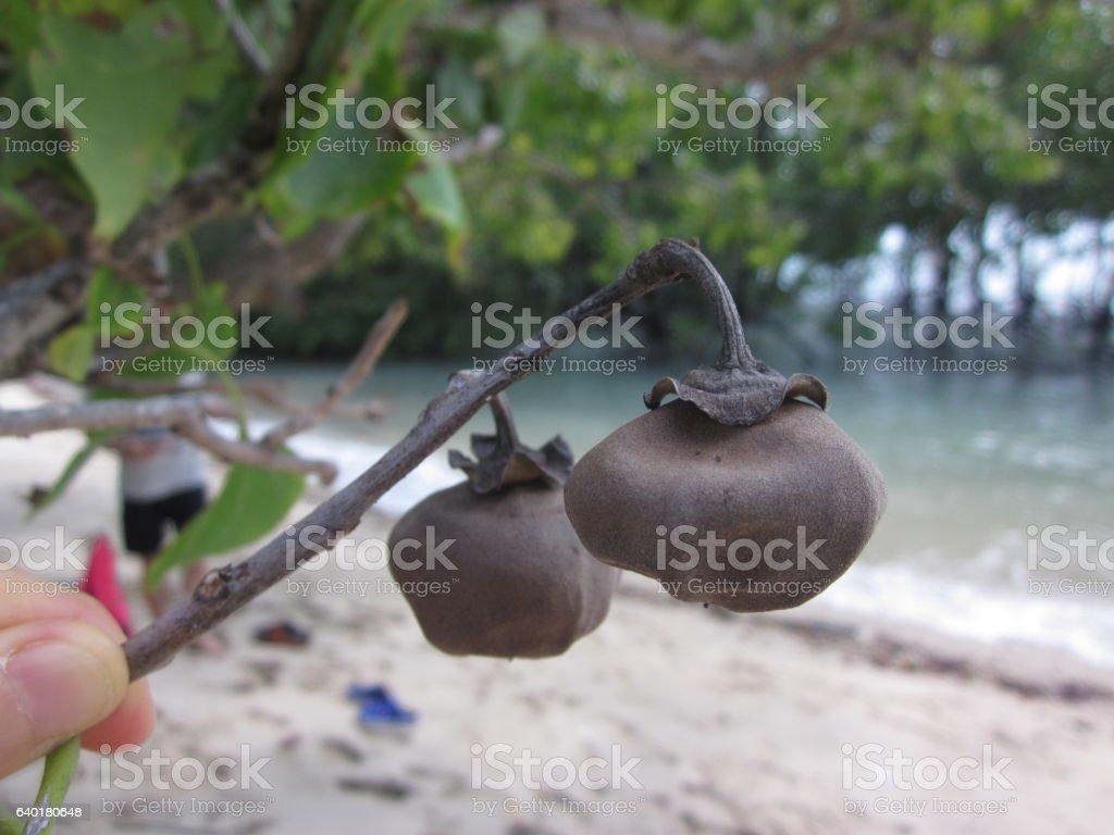 The result of Thespesia populnea or Portia tree. stock photo