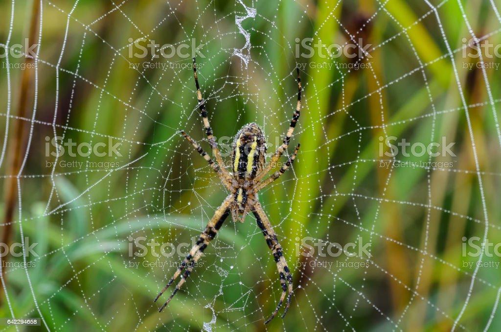 The reverse side of the spider argiope bruennichi stock photo