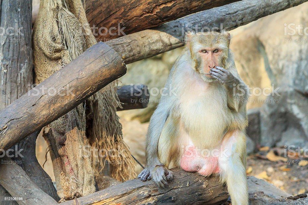 The rhesus macaque monkey (Macaca mulatta) stock photo