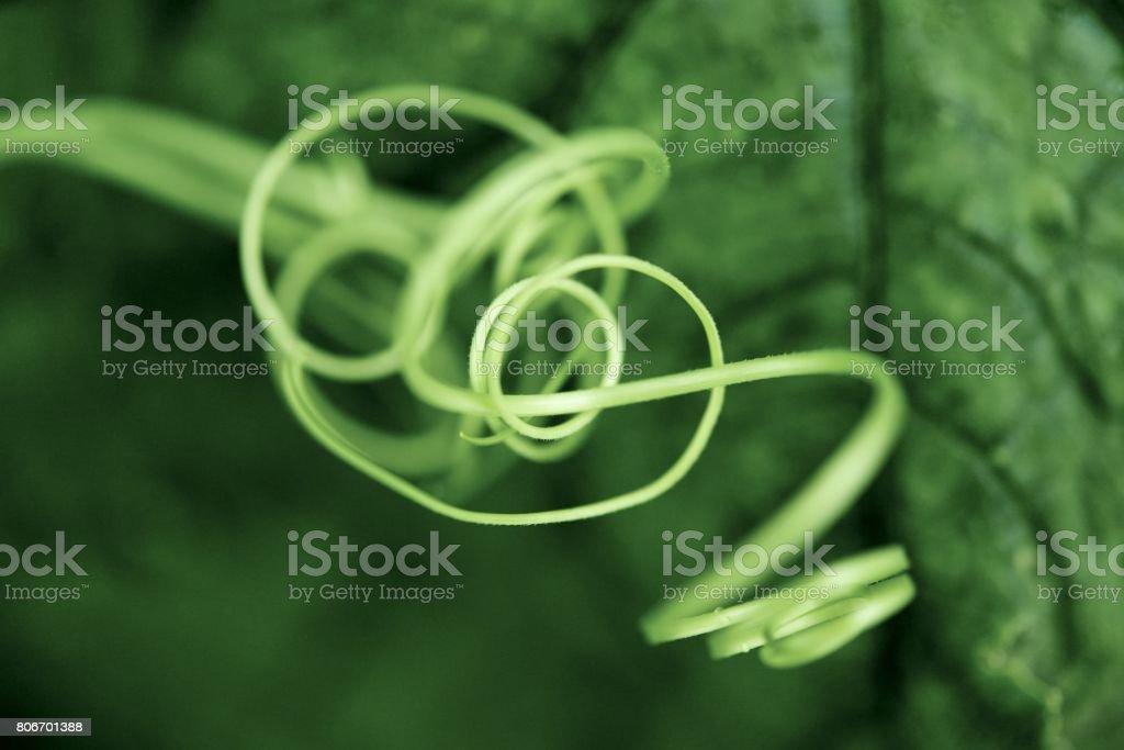 The rhythm of white gourd cane stock photo