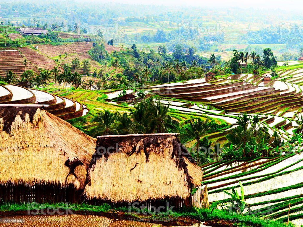 The rice paddy stock photo