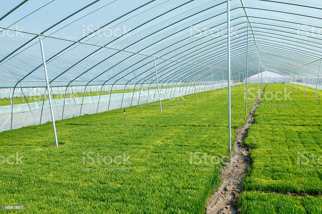 The rice seedling in the greenhouse stock photo