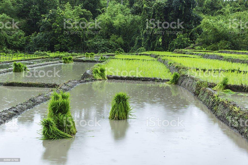 The Rice seedlings stock photo