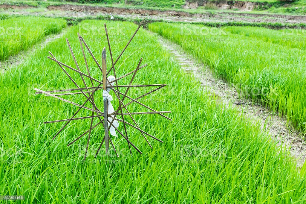 The rice seedlings vegetate in water. stock photo