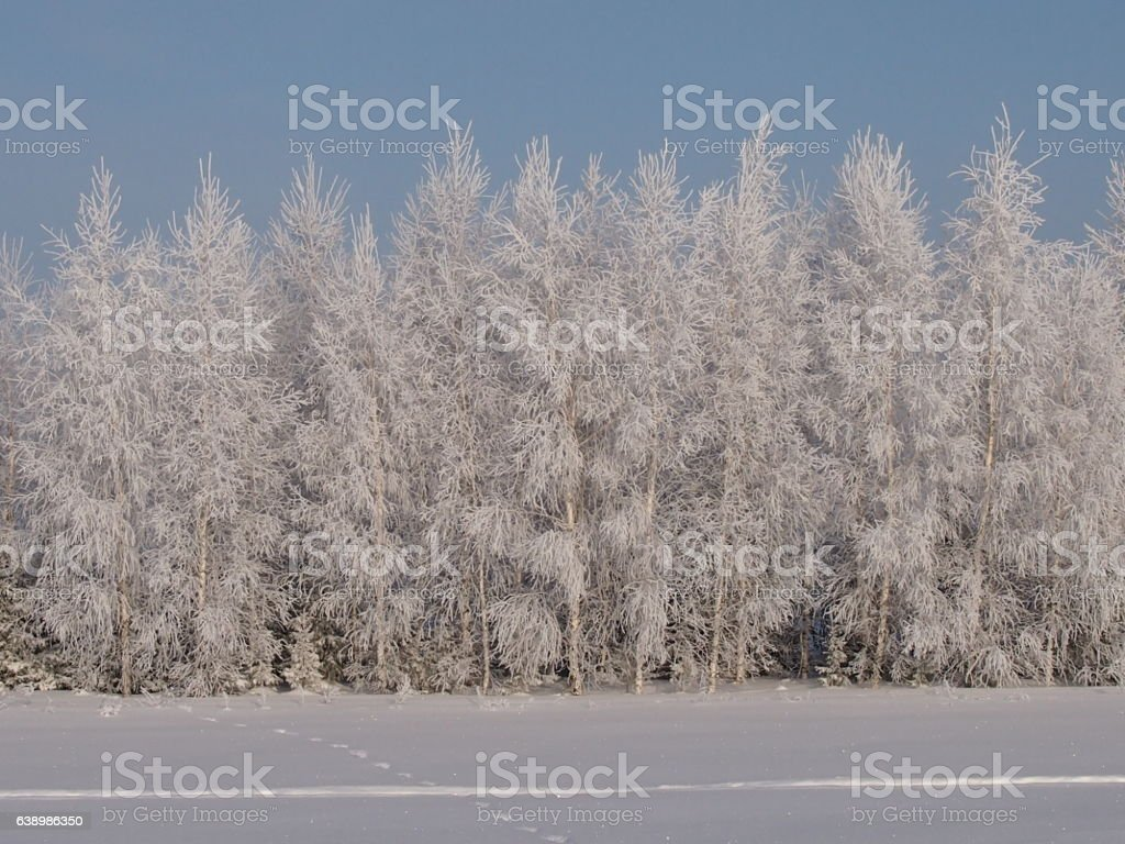 The rimed birches stock photo