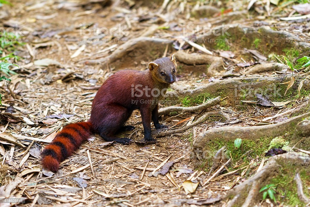 The ring-tailed mongoose stock photo