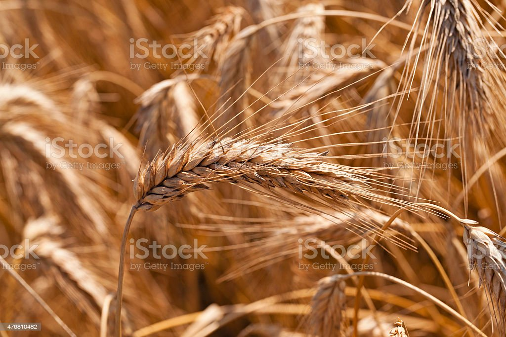 the ripened cereals stock photo