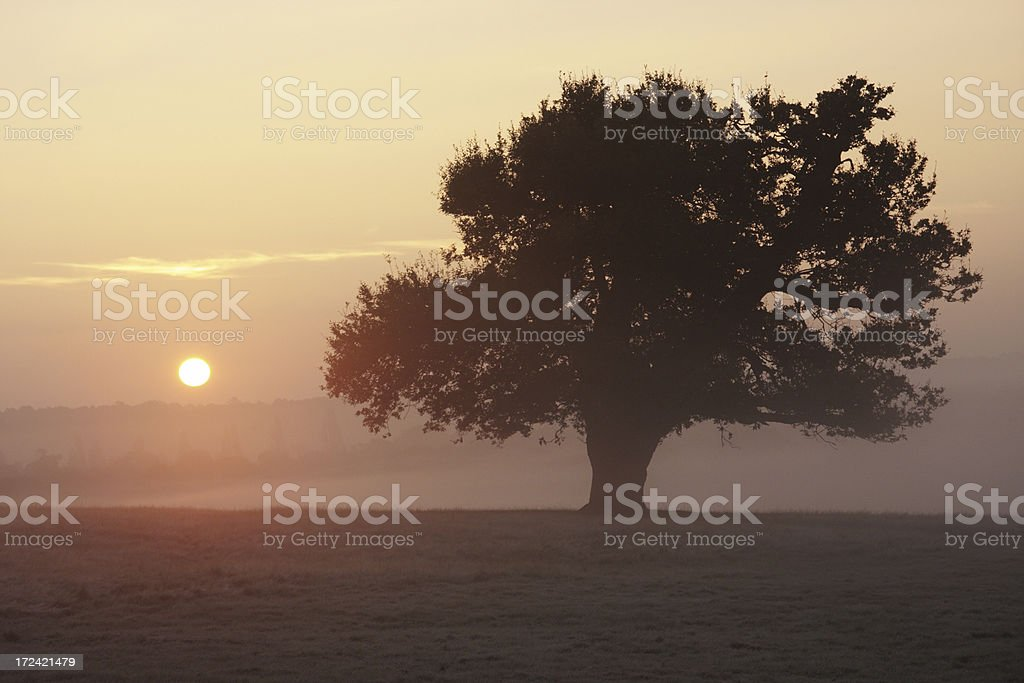 Pink sunrise beyond dark oak tree royalty-free stock photo
