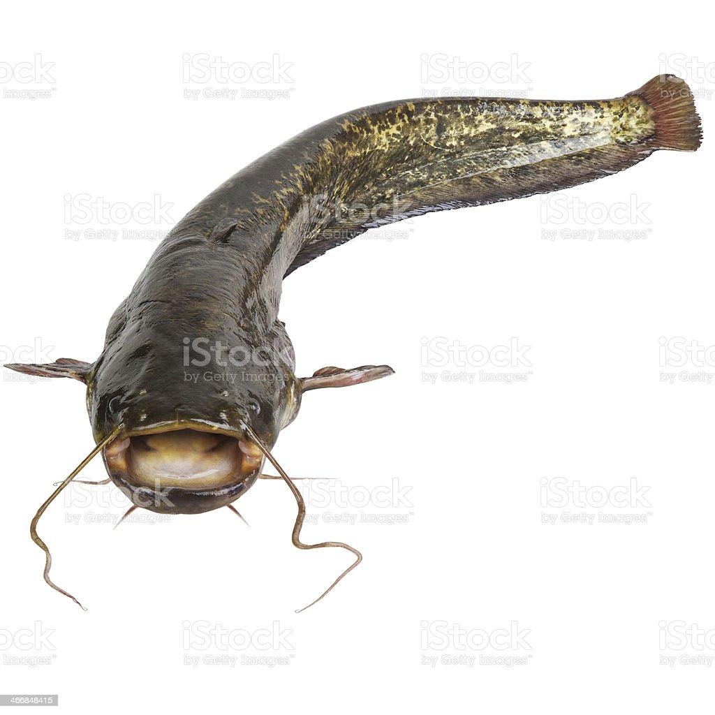 The river catfish stock photo