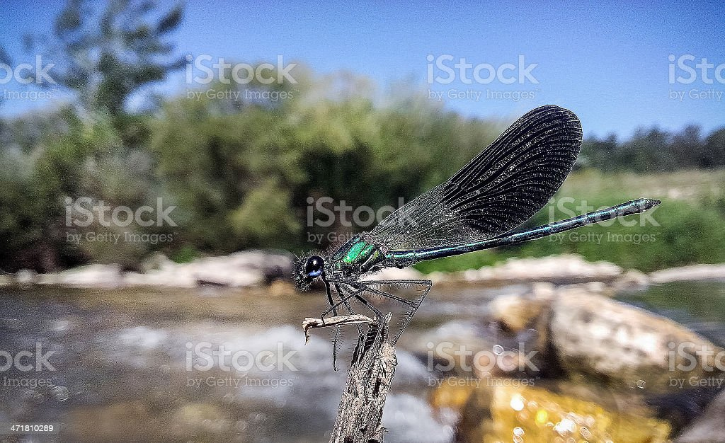 The river dragonfly royalty-free stock photo