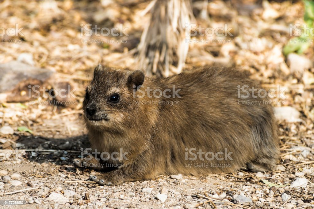 The rock hyrax in the nature reserve of Ein Gedi stock photo