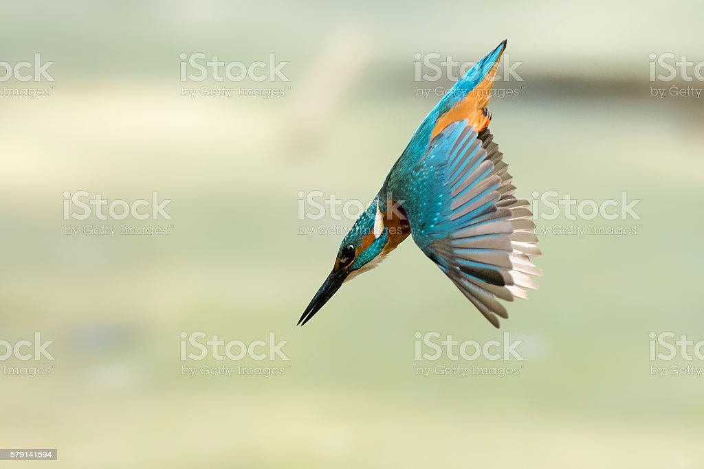 The Rocket - King Fisher diving stock photo