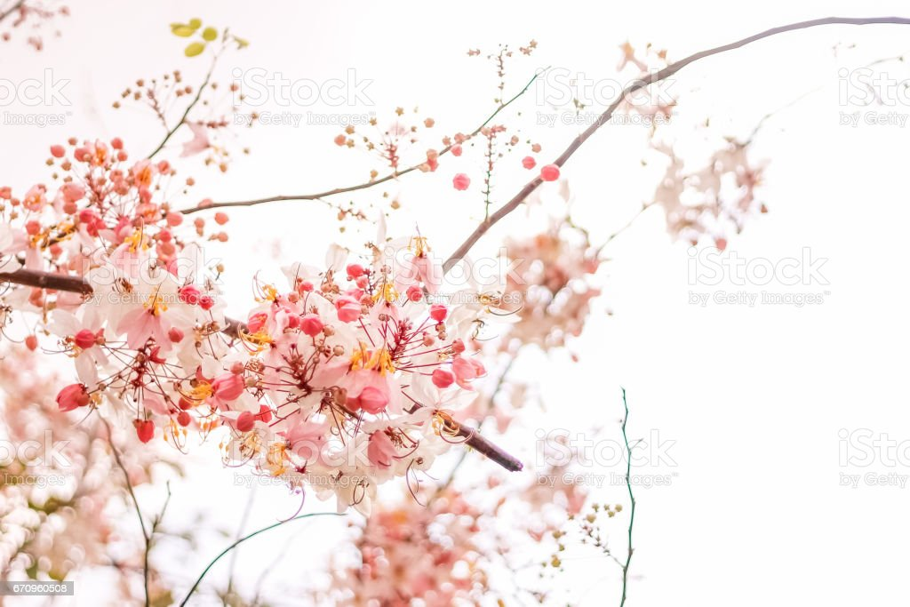 The romantic of pink flower trees, pink flowers. background, texture. stock photo