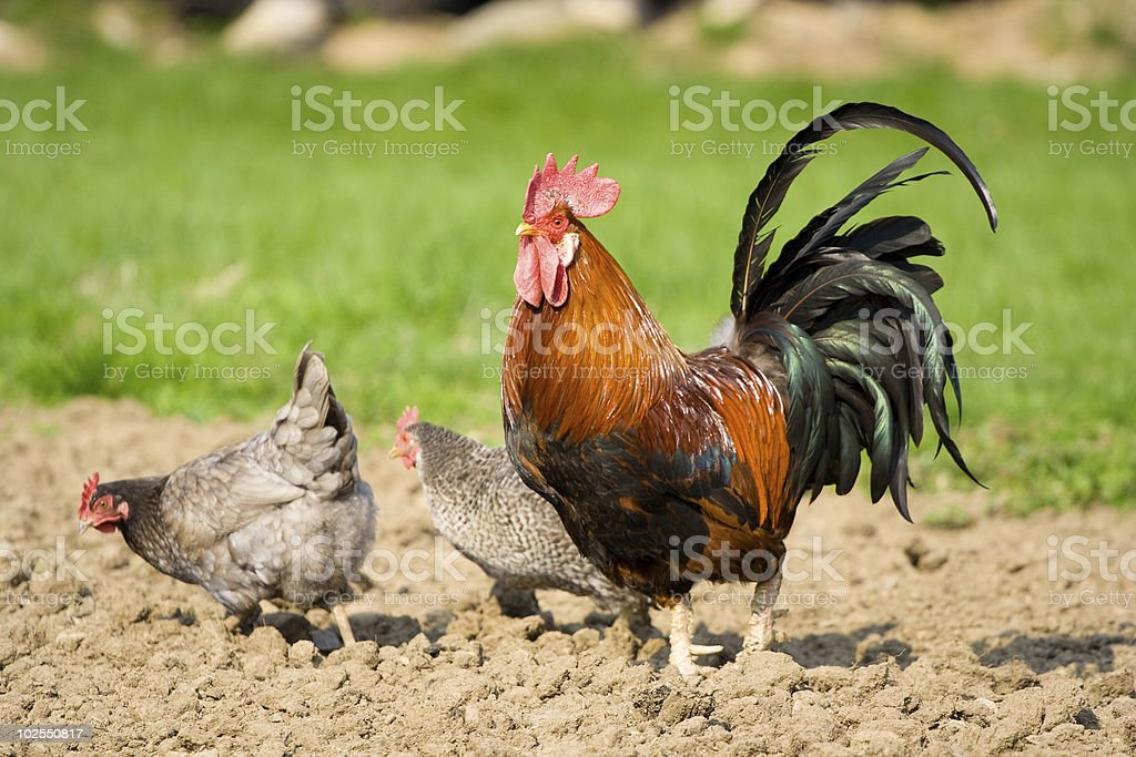 The Rooster and Two Hens stock photo