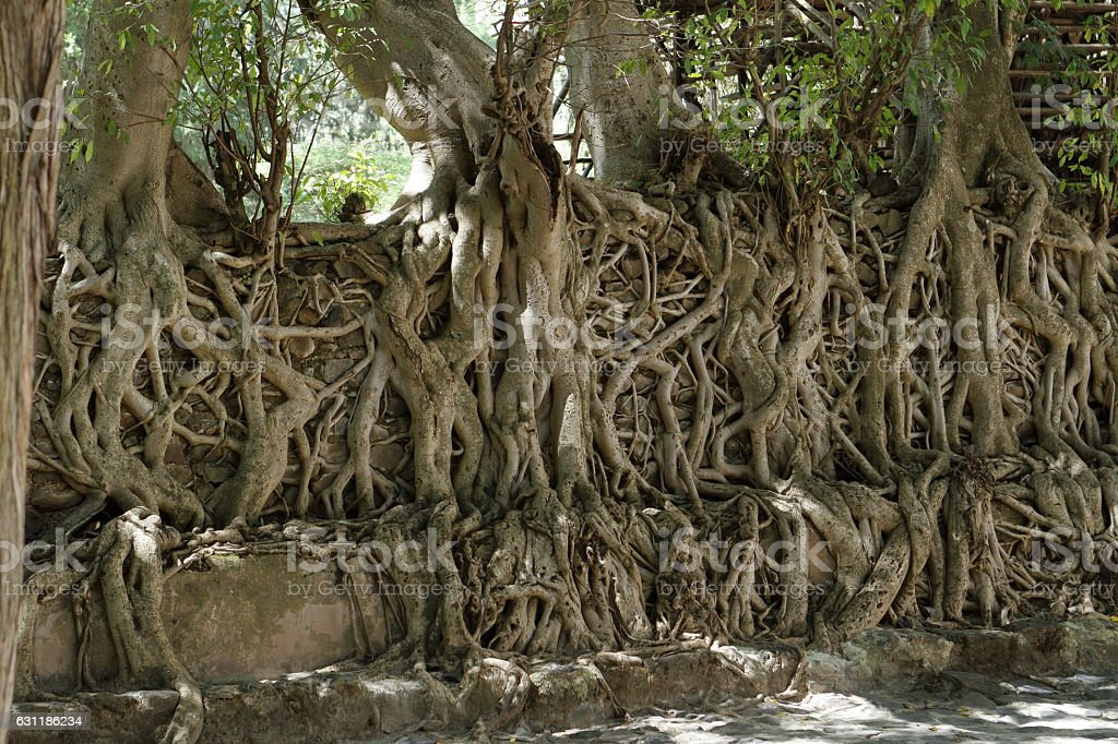 The roots grows over a wall stock photo