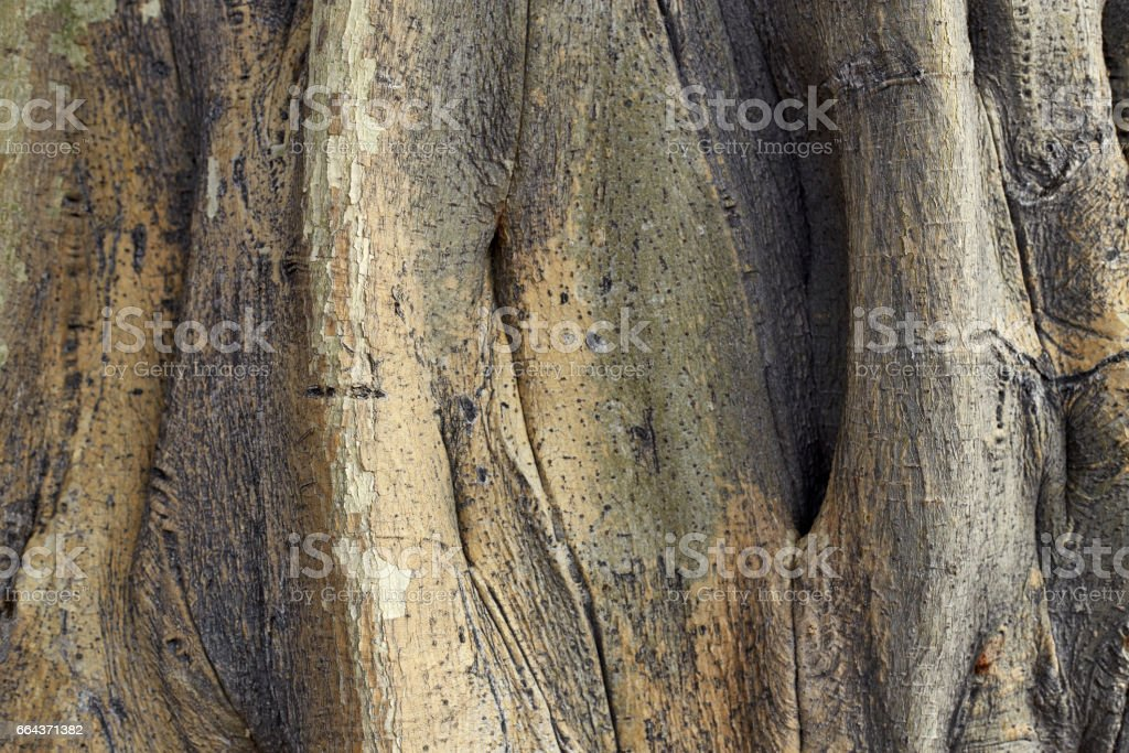 The roots of the Bodhi tree stock photo